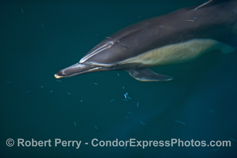 A common dolphin is shown with numerous northern anchovies including one little fish that casts a shadow in the head of the dolphin.