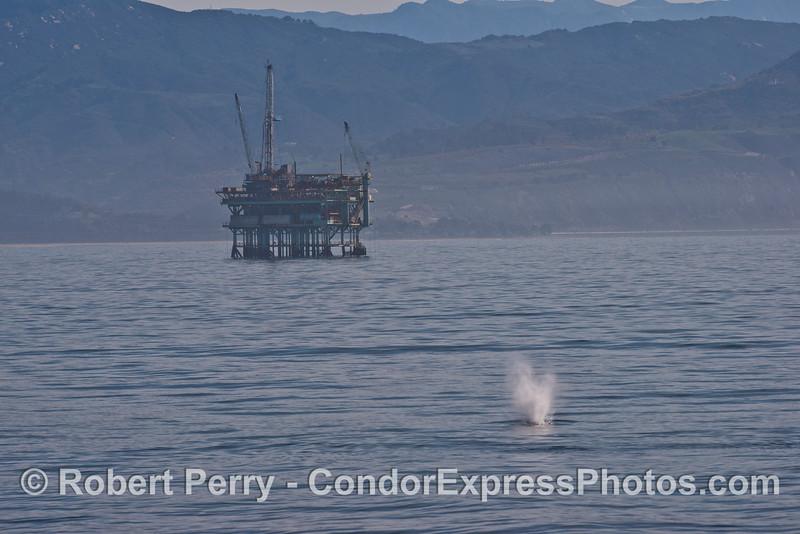 A humpback whale spouts near an offshore oil platform.