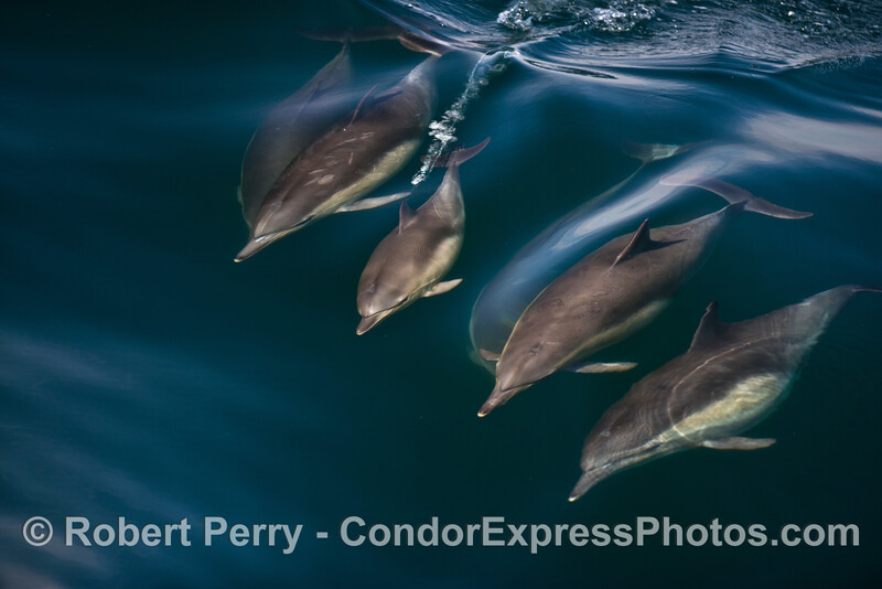 One juvenile and three adult common dolphins ride a small jade colored wave.