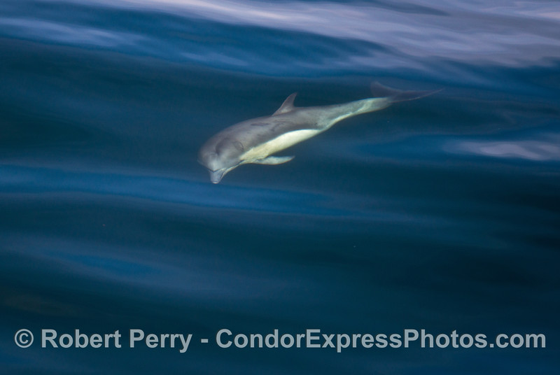 A long beaked common dolphin is shown underwater.