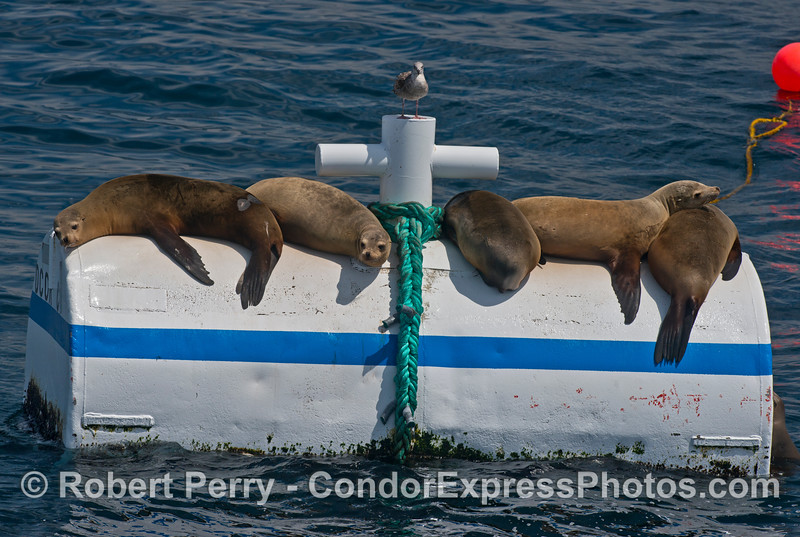Five California sea lions rest on a a mooring can near offshore oil platform C.