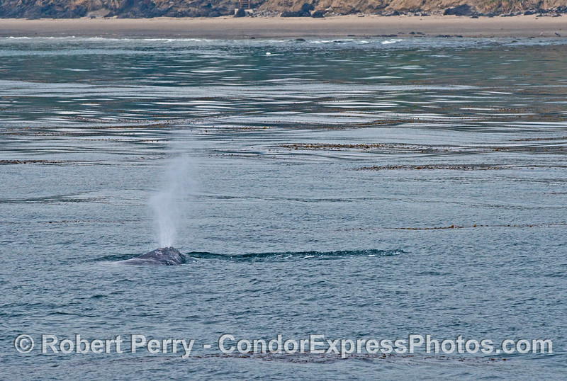 A spouting gray whale near the beach.
