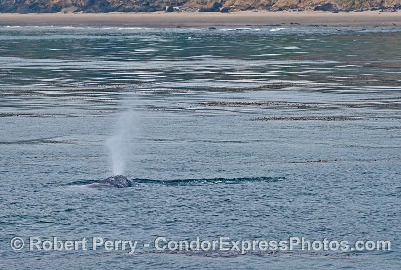A spouting gray whale near the beach.