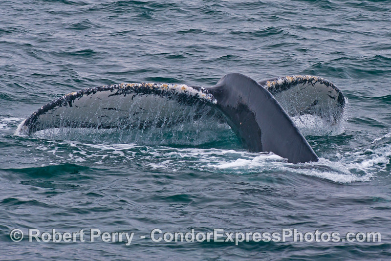 Image 1 of 2:  humpback whale tail fluke sequence.