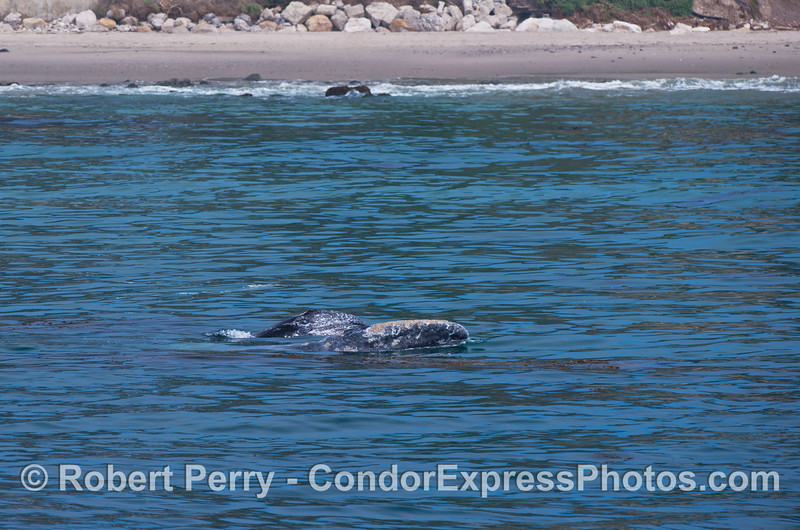Mother (bottom) and her calf (behind her) gray whales pop their heads out of the water as they cruise around near the beach.