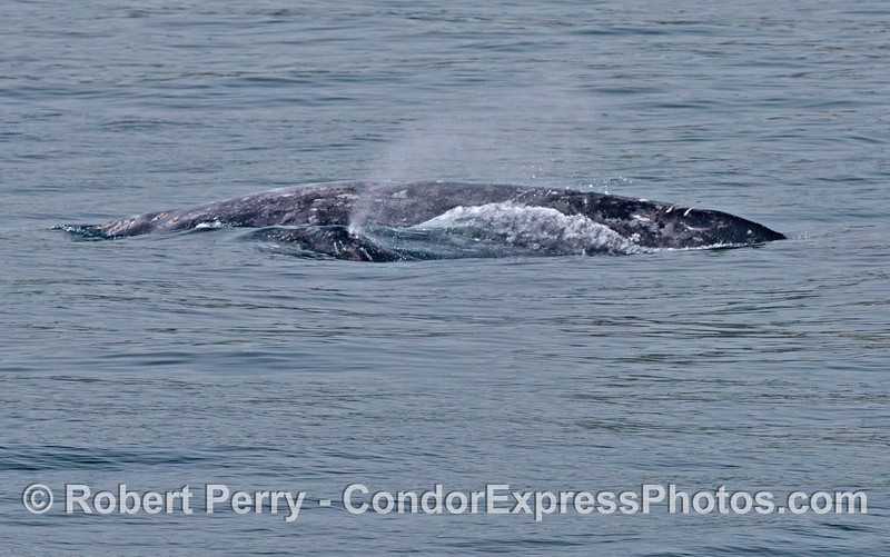 A mother gray whale and her spouting calf.