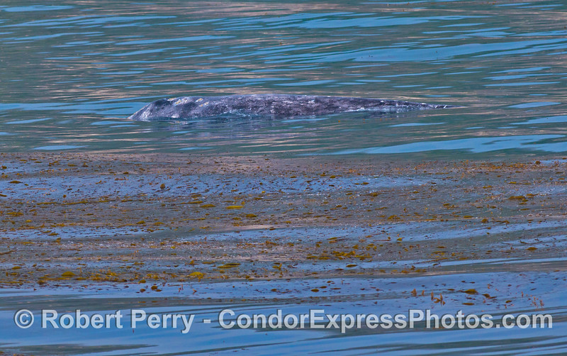 A female gray whale travels on the inside edge of the kelp forest.
