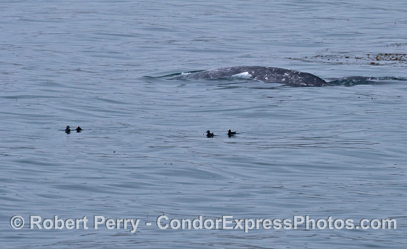 4 surf scoters move aside as a gray whale pops up the surface.