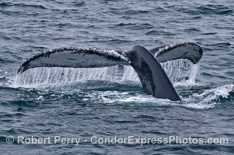 Image 2 of 2:  humpback whale tail fluke sequence.