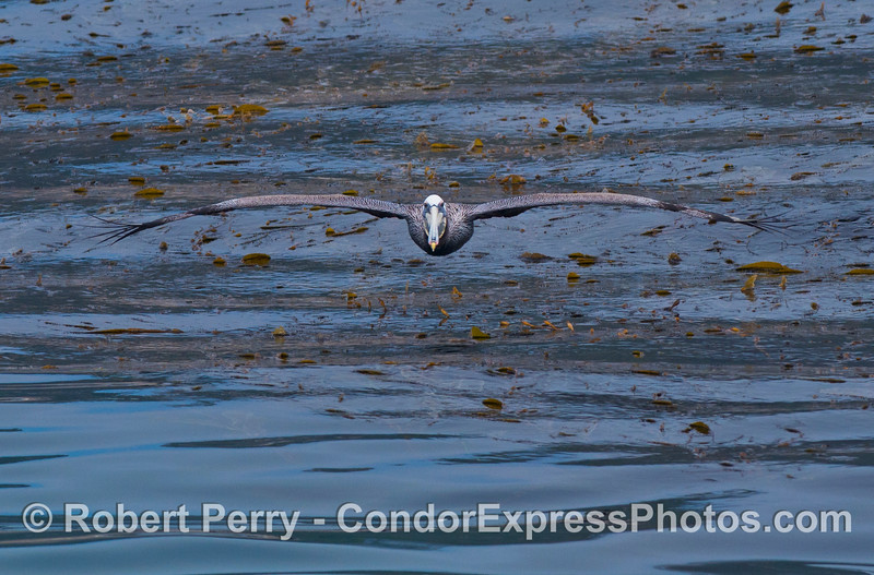 A majestic brown pelican soars across a kelp bed.