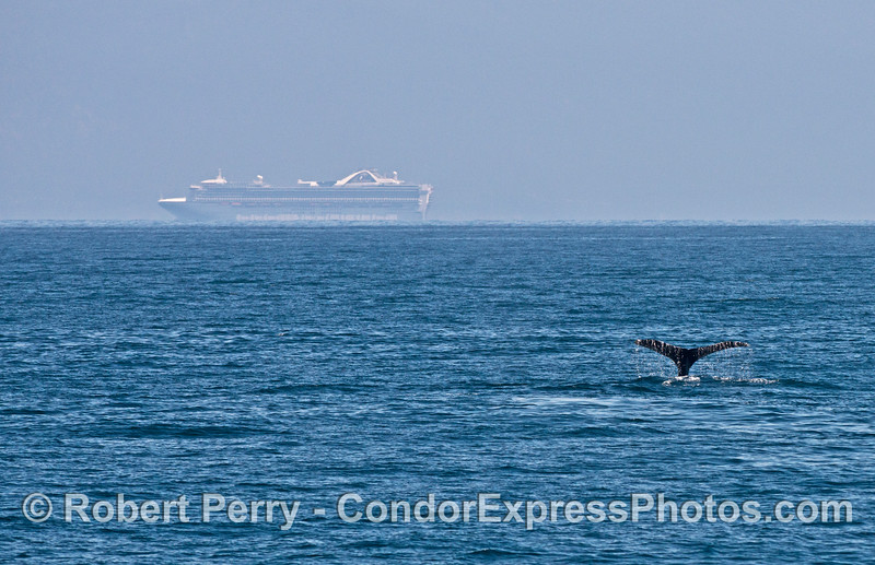 A large cruise ship in the background, a humpback whale shows its flukes in the foreground