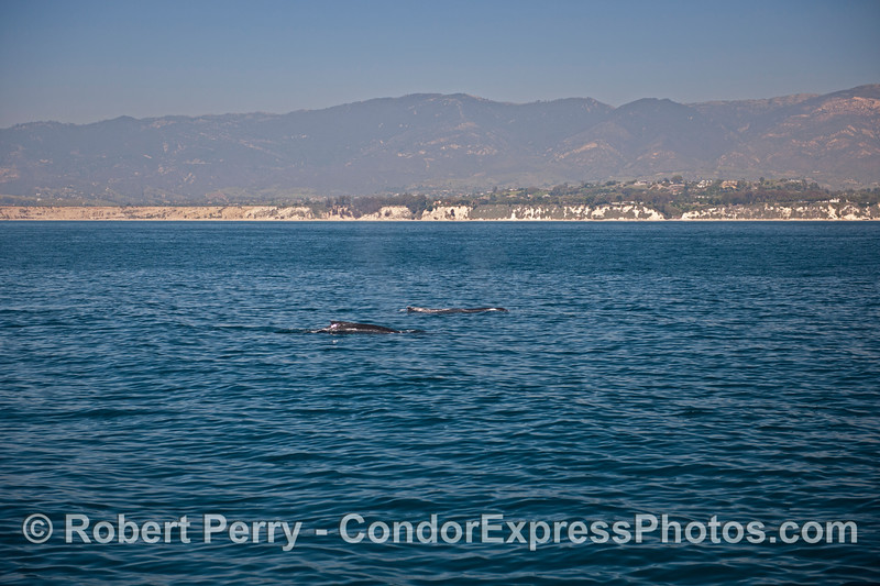 A duo of humpback whales near the coast