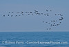 Branta bernicla flock in flight 2014 04-11 SB Coast-005