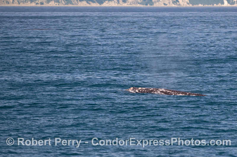 The mottled back of a northbound migrating gray whale