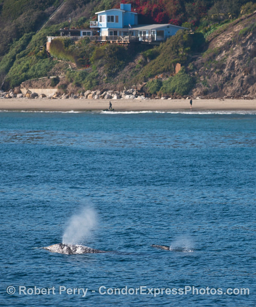 Mother and calf gray whales near the beach at Hope Ranch.