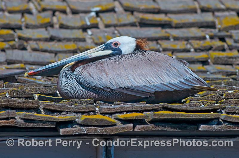 A brown pelican roosts on top of the SEA Landing shingles in Santa Barbara Harbor.