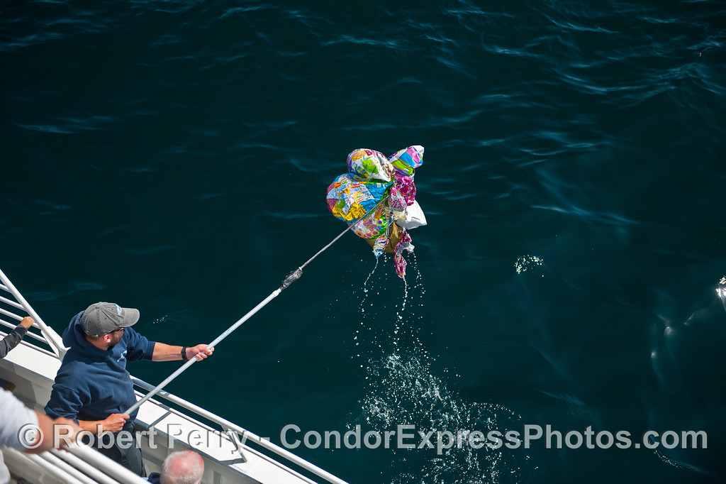 A cluster of helium mylar balloon trash being removed from the wild ocean and disposed of properly.
