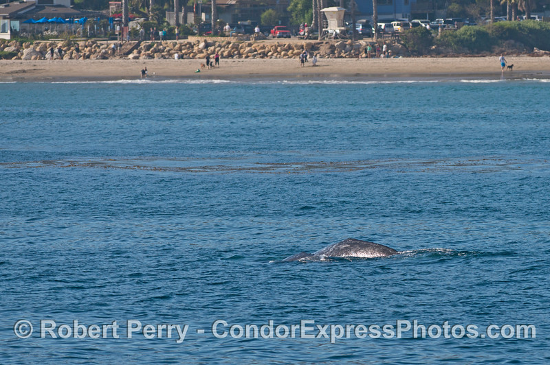 Mother and calf gray whales swim close to the beach at Arroyo Burro and the Boathouse restaurant.