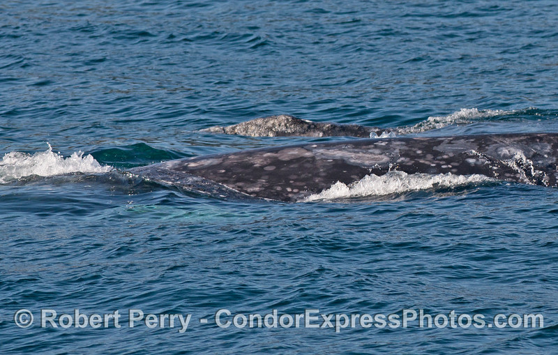 Mother (front) and her calf (back) - gray whales.