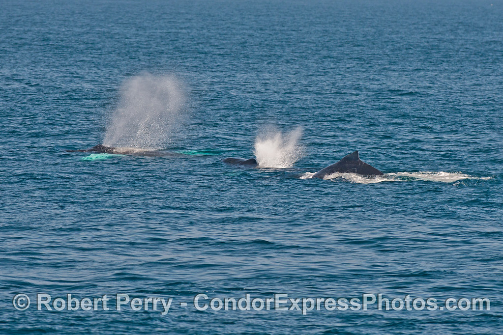Three humpback whales in a row.