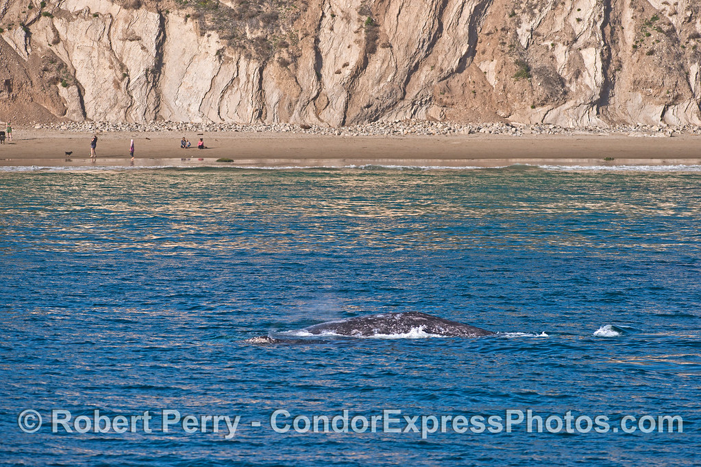 Gray whale mother and her calf.