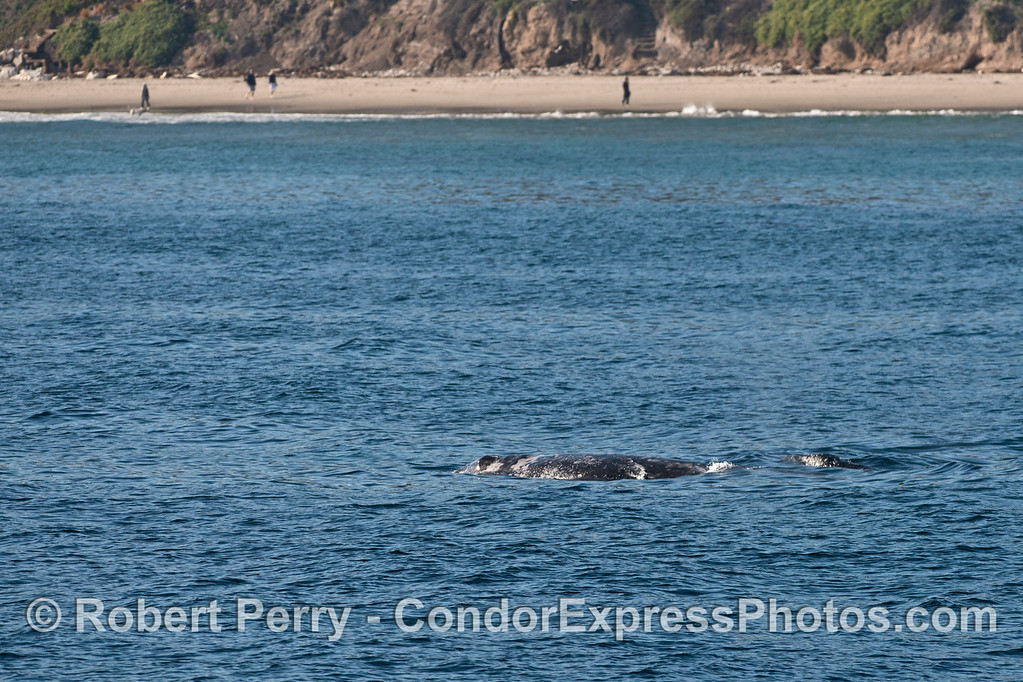 Mother and calf gray whales near the beach.