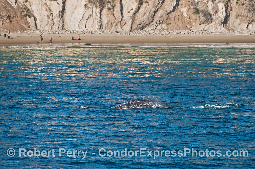 Gray whale close to shore.