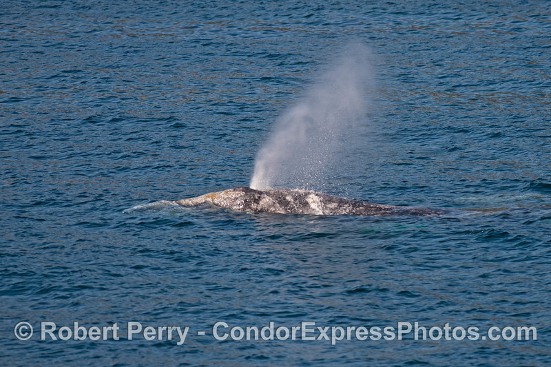 A clean, fresh spout of a gray whale.