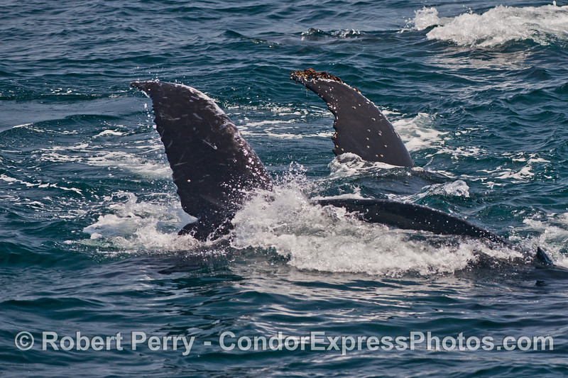 Twin Humpback whale tail flukes - both are banking a right turn (towards the camera).
