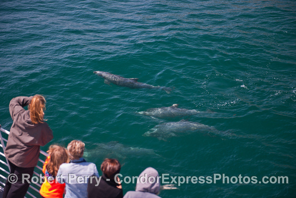 Friendly bottle nose dolphins pay a visit to the Condor Express.