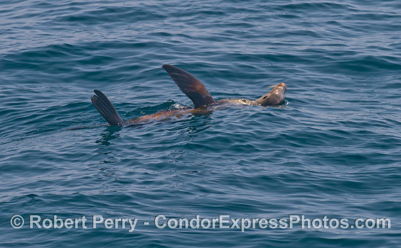 A California sea lion - rafting.