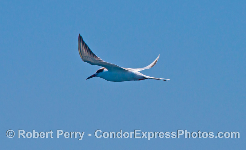 An elegant tern in flight.