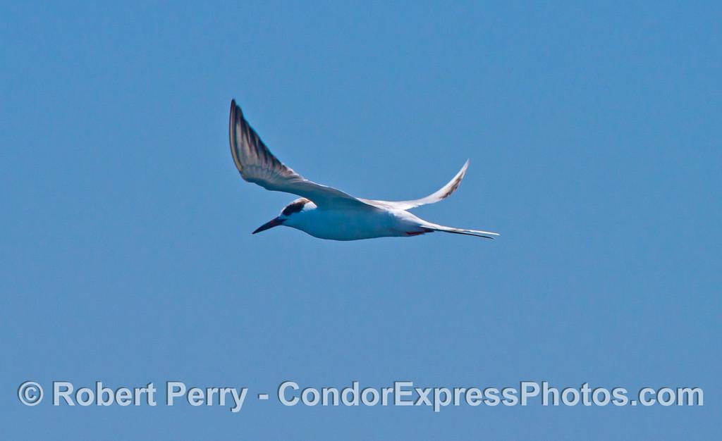 An elegant tern in flight.