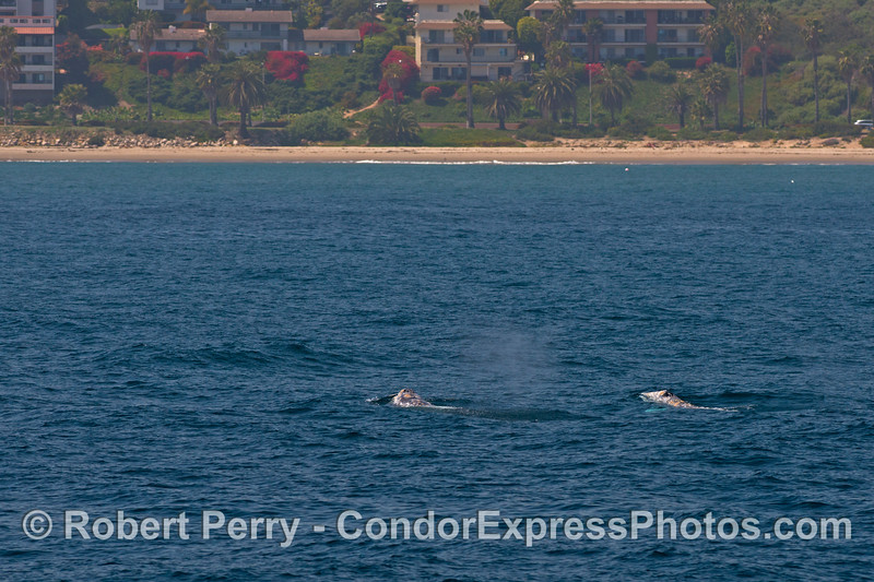 Two gray whales just off the coast of Santa Barbara.