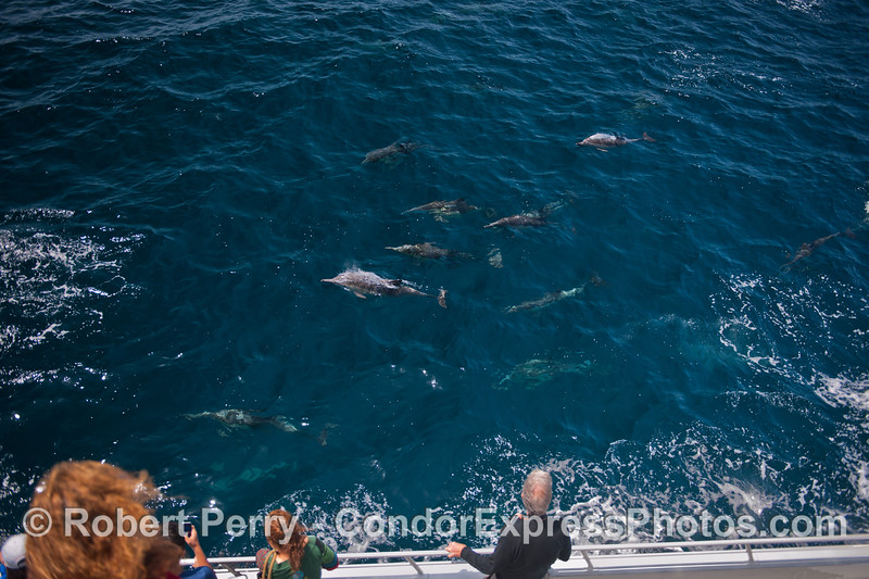 Common dolphins visit the humans.