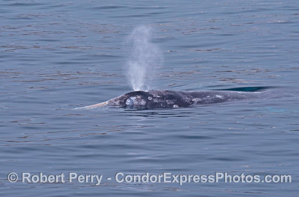 Spouting gray whale.