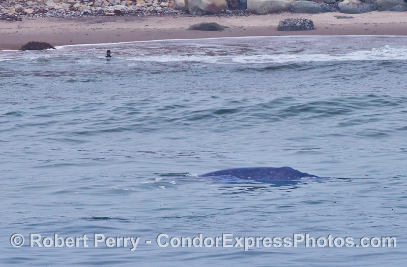 A lone body surfer in the surf gets an up close view of two migrating gray whales. (One whale is up and the other is underwater to the left of it)