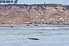 Eschrichtius robustus & people on bluff 2014 04-17 SB Coast-062