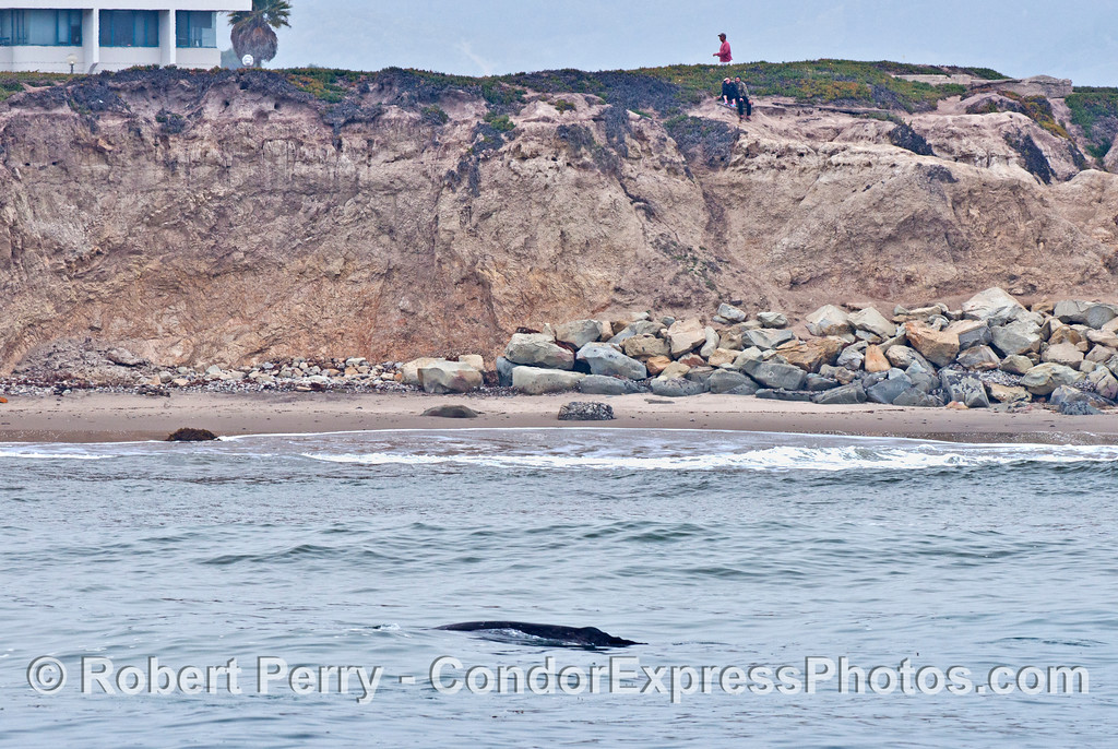 A gray whale very close to shore is watched by people on the bluff.