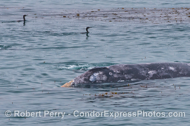 A gray whale in the giant kelp forest with two Brandt's cormorants.