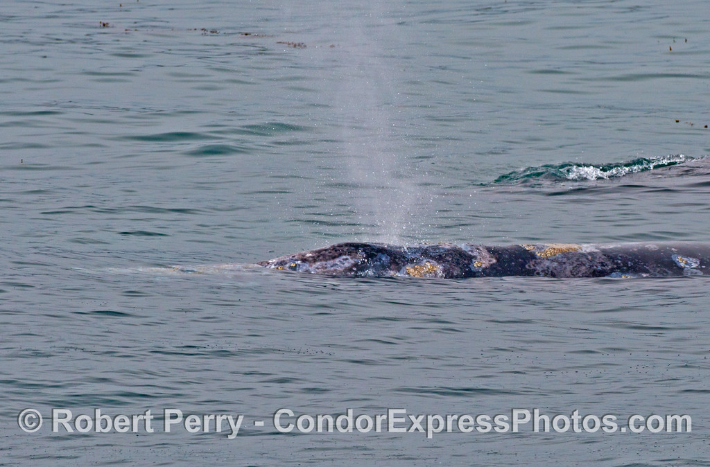 Side view of a spouting gray whale.