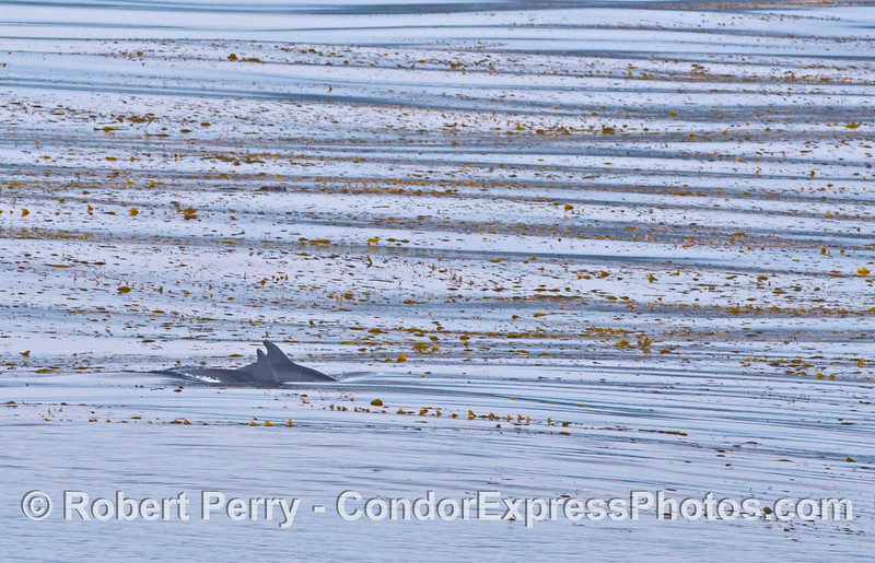 Two bottle nose dolphins in the giant kelp forest.