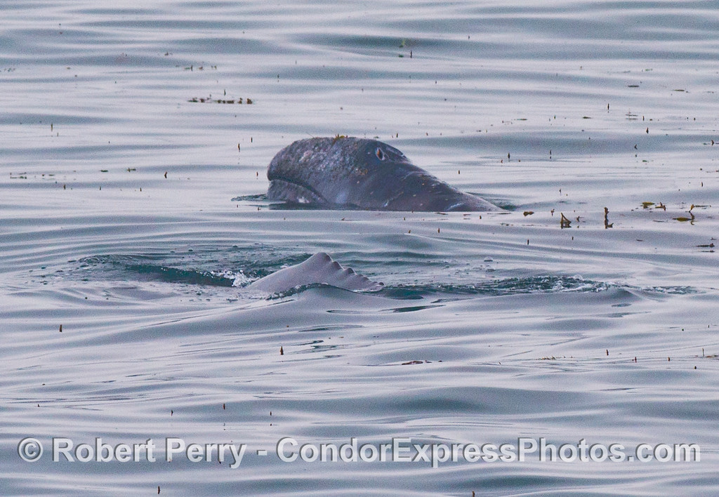 Gray whales in the kelp forest - one raises its head out of the water.
