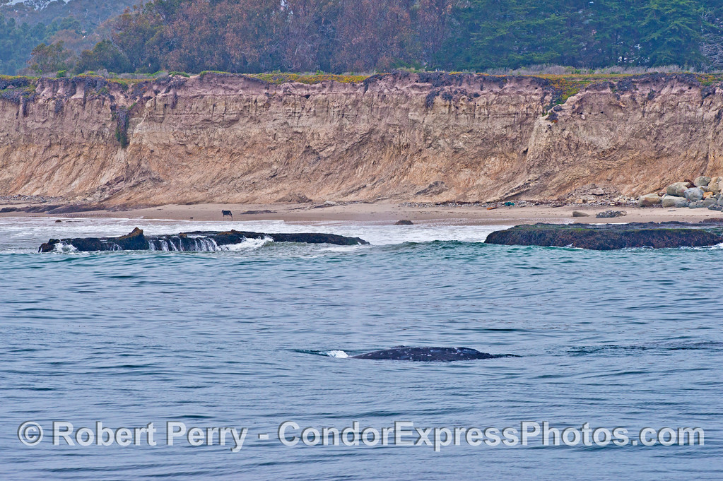 A northbound gray whale is seen very close to the rocks in shallow water at Campus Point, UCSB.