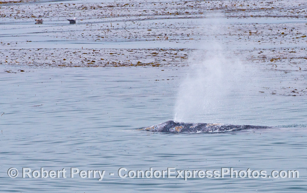 A gray whale spouts as it swims along the outer edge of the kelp forest.