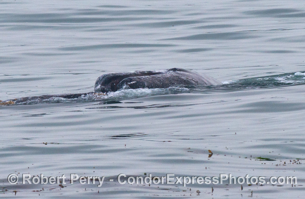 Image 2 of 2:  a gray whale is seen on its side with its mouth open.  Questions are raised about why.