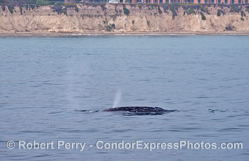 Two gray whales:  A calf is hidden behind its mother but is spouting.