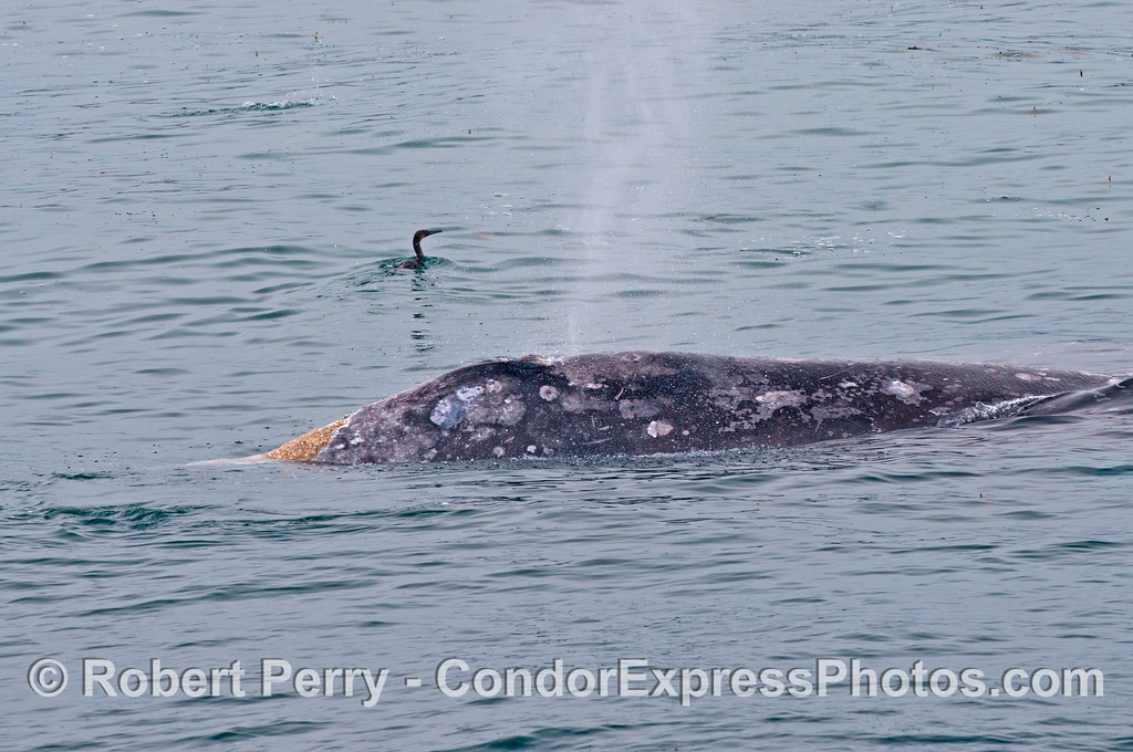 Gray whale and cormorant.