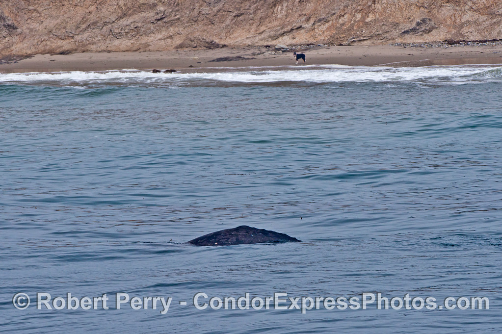 A lone dog on the beach does a little whale watching.