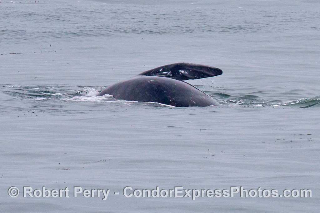 A gray whale is seen rolling over on its left side, exposing its right pectoral fin.